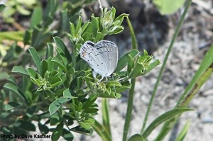 Eastern Tailed-blue (1)